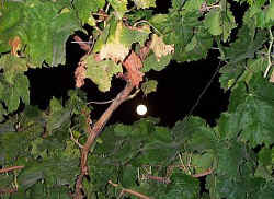 The Moon through the vines at the Vine Leaf